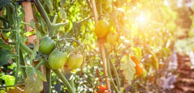 How-to-grow-a-tomato-plant