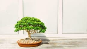 how-to-care-for-a-bonsai-tree